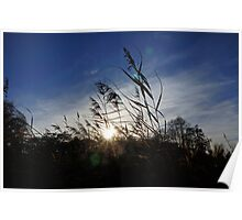 Reeds in the WInter Sun Poster