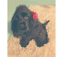 Cute American cocker Photographic Print