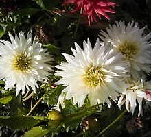 three white dahlias by NafetsNuarb