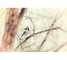Blue Jay Winter Photographic Print
