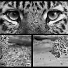 Amur Leopard B&W Collage by Mark Hughes