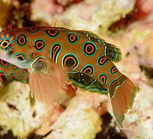 Picturesque Dragonet - Synchiropus picturatus by Andrew Trevor-Jones