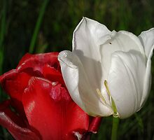 tulips red and white by NafetsNuarb