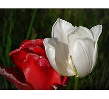tulips red and white Photographic Print