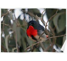 Mistletoebird Poster