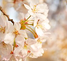Cherry Blossom (桜) by ginofranco