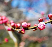 Pink Cherry Blossom Bud 1 by ginofranco