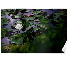 Pond Lilly Poster