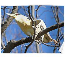 Please help this black crown night heron Poster