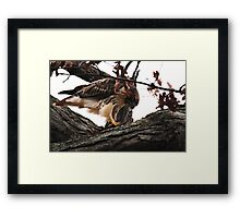 Redtail Hawk's Successful Hunt Framed Print