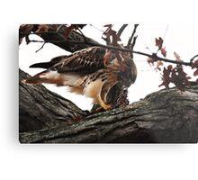 Redtail Hawk's Successful Hunt Metal Print