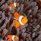 Anemonefish by Andrew Trevor-Jones