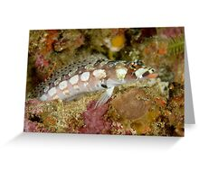 Reticulated Sandperch - Parapercis tetracantha Greeting Card
