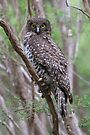 Powerful Owl .Ninox strenua by Donovan Wilson