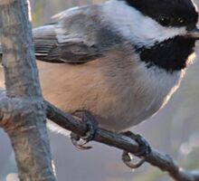 Chickadee in the early morning light Sticker