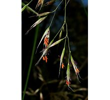 Spear Grass Photographic Print