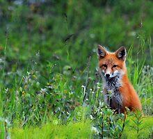 Cute Red Fox by Caren della Cioppa
