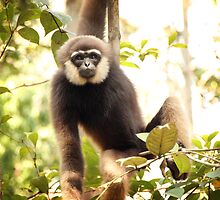 Gibbon - Central Kalimantan - Indonesia by Erin McMahon
