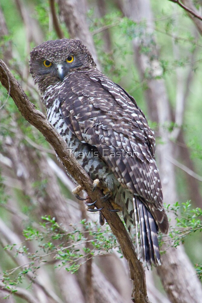 Powerful Owl - Ninox strenua by Travis Easton