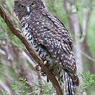 Powerful Owl - Ninox strenua by Travis Easton