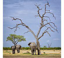 African Elephants head home Photographic Print
