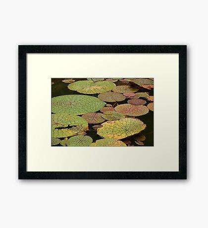 Water Lillies, Brazil Framed Print
