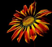 "Gazania ""Sunshine"" by flips99"