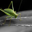 Bush Cricket by SteveHphotos