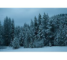 Family of Pines on Aladdin Road Photographic Print