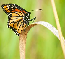 Portrait of a Monarch Butterfly by Thomas Young