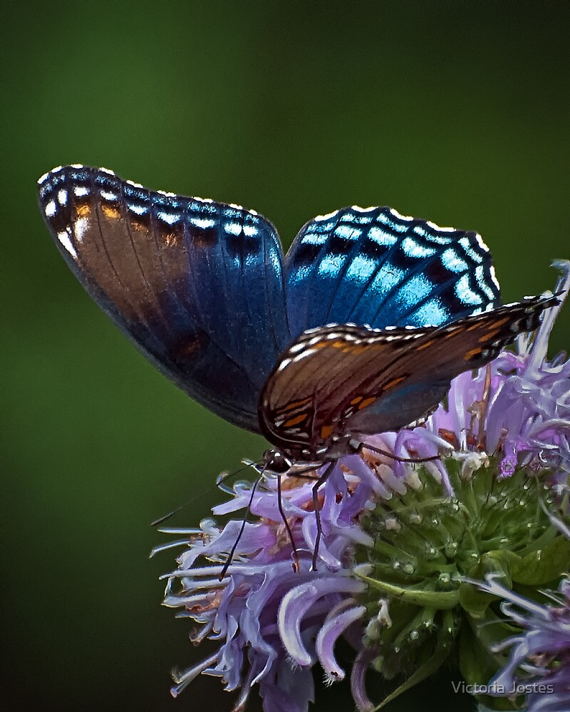 Red-Spotted Purple by Victoria Jostes