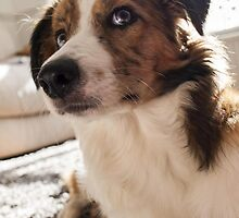 Red Merle Border Collie Puppy by llouise94