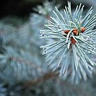 Blue Spruce In The Rain by LilCreativeSpce