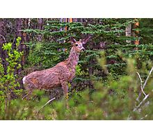 Scraggly Muley Photographic Print