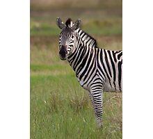 African Zebra Photographic Print