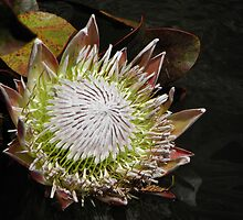Protea beauty. by Elisabeth Thorn