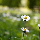 Daisy Chains by Kerry Purnell