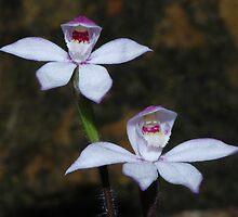 Caladenia alpina by Russell Mawson