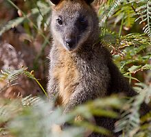Swamp Wallaby by Will Hore-Lacy