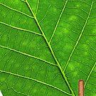 Leaf by acepigeon