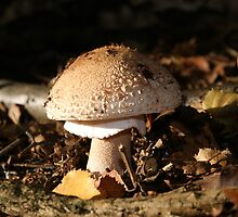 Amanita rubescens ( the Blusher) by stevehar64