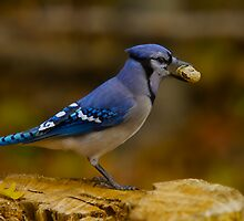 A real Blue Jay - Ottawa, Canada by Josef Pittner