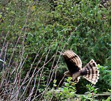 Hawk on the hunt by missmoneypenny