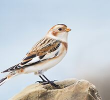 Snow Bunting. by Daniel Cadieux