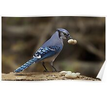 Feeding the Blue Jays Poster