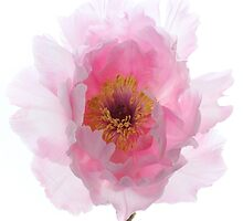 Pink Tree Peony. by Alyson Fennell