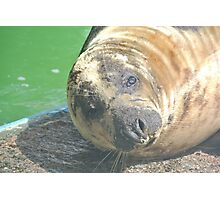 Cute Seal Close-Up Photographic Print