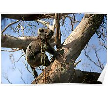 Koala at Cape Otway on the Great Ocean Road Poster