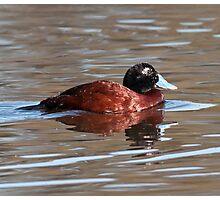 Blue-billed Duck Photographic Print