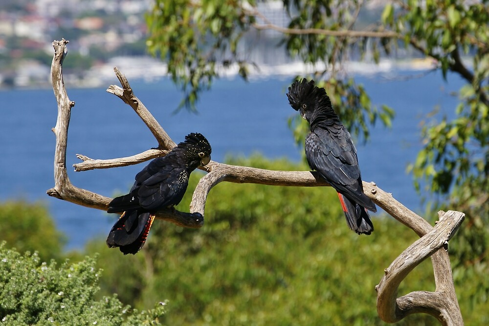 Red-tailed Black Cockatoos by roger smith